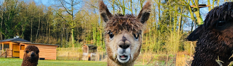 locatie met alpaca Limburg